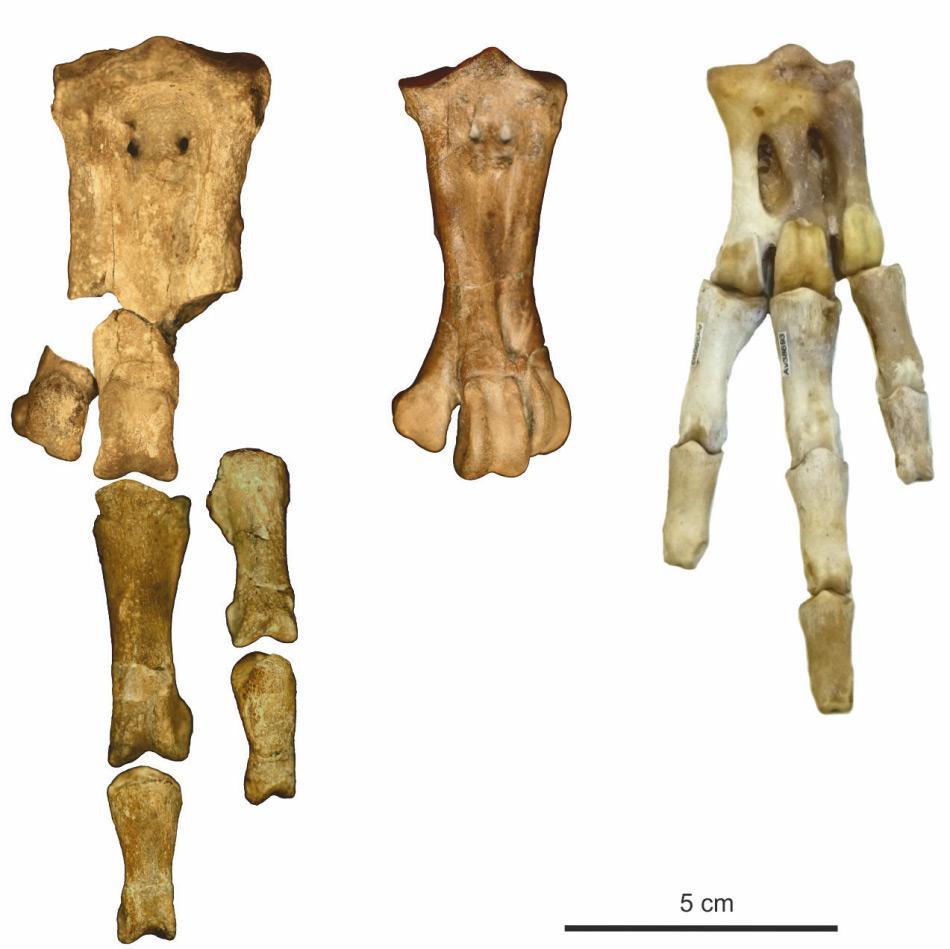 Die Fussknochen des neuentdeckten Riesenpinguins (links), verglichen mit Waimanu manneringi, von der gleichen Fundstelle (Mitte) und ein Kaiserpinguin, der grösste moderne Pinguin (rechts). Bild: Senckenberg