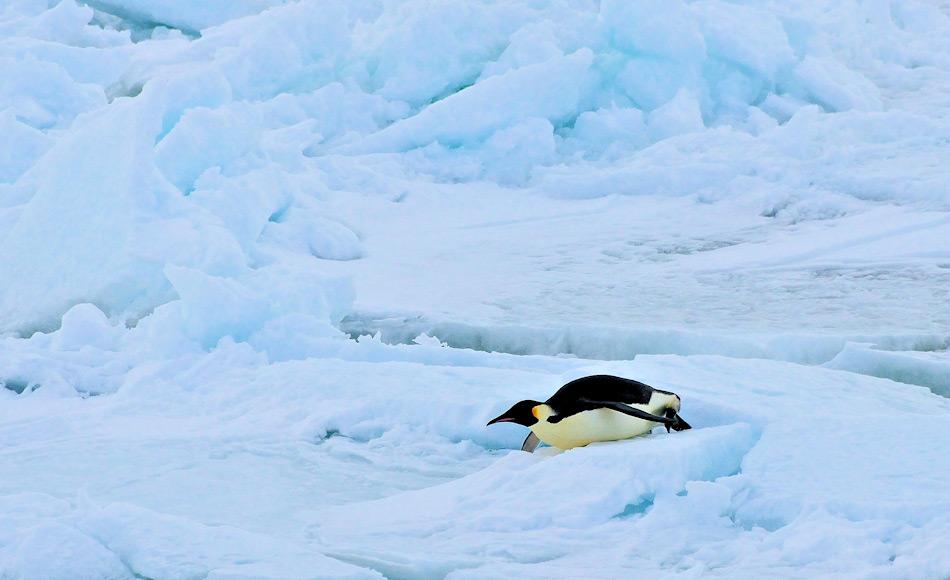 Die grössten, modernen Pinguine sind Kaiserpinguine mit Grössen zwischen 110 – 130 cm und 36 kg Gewicht. Doch im Vergleich zur neuentdeckten Art Kumimanu sind sie Zwerge. Diese Art war bis zu 165 cm gross und 100 kg schwer. Bild: Michael Wenger