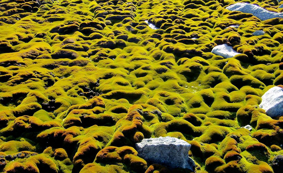 Einige Stellen auf den sonst exponierten Windmill Islands sind richtige grüne Moos-Oasen. Diese scheinen sich aber nun durch neue klimatische Bedingungen zu verändern. Bild: Sharon Robinson, AAD