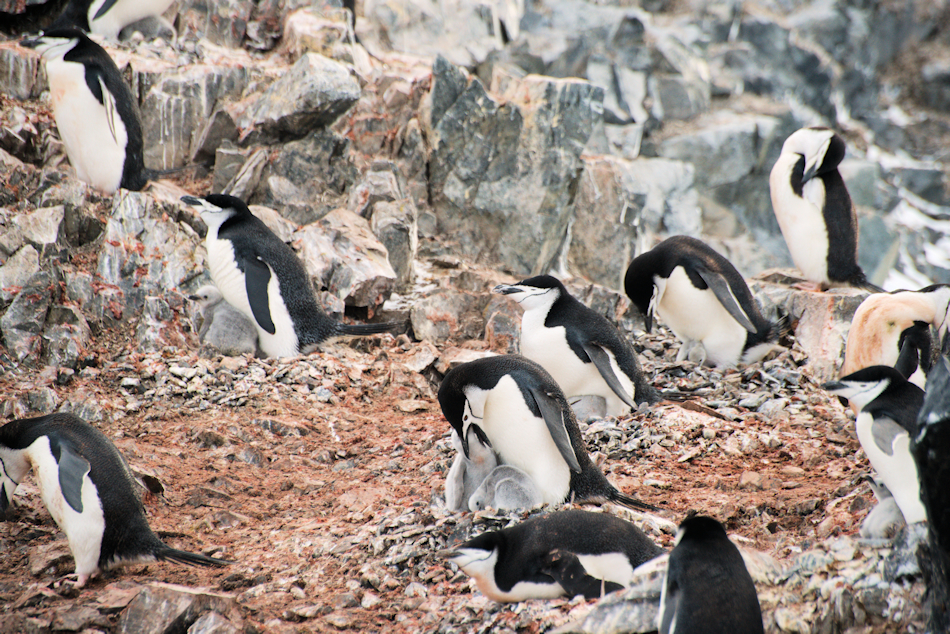 Die Zahlen der Pinguine und vieler anderer Seevögel sind in den letzten 40 Jahren zwischen 25 und 50 Prozent gesunken, u.a. weil sie nicht mehr genügend Nahrung finden, um sich und ihre Jungen zu ernähren. Bild: Michael Wenger