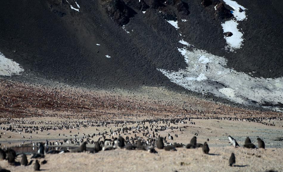 Die Adéliepinguinkolonie nahe der Hütte von Borchgrevink ist eine der grössten Pinguinkolonien in Antarktika. Viellicht liegt hier der Schlüssel zum Überleben der Art in der Zukunft. Bild: Michael Wenger