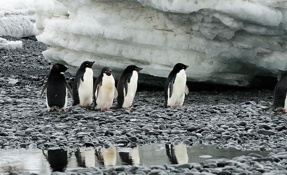Adéliepinguine sind eine von drei echten Antarktikabewohnern, denn sie brüten an den felsigen Bereichen des Südkontinents. Rund 2.5 Millionen Brutpaare sollen rund um Antarktika vorkommen. Bild: Michael Wenger
