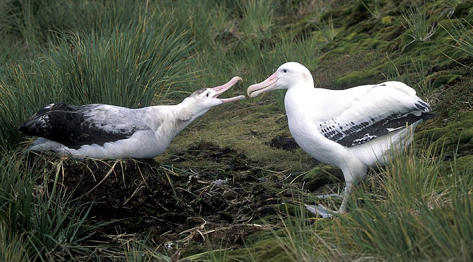 Wanderalbatrosse sind sehr langlebige Vögel. Der Rekord liegt für ein Weibchen bei 63 Jahren. Wenn einmal gefunden, bleiben die Paare ein Leben lang zusammen.
