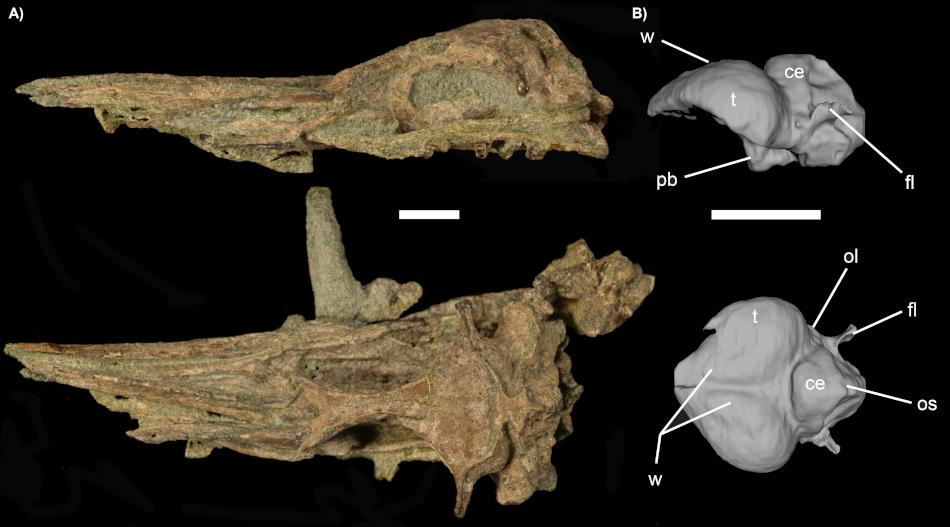 Der Fossilisierte Schädel (links) und das 3D-Modell des Abgusses des Schädelinneren (Endocast, rechts). Die Resultate des Scans zeigen, dass die Grösse des Endocasts vergleichbar ist mit demjenigen moderner Vögel wie Taucher, die sowohl fliegen wie tauchen. Einige Strukturen sind auch heute noch bei modernen Pinguinen sichtbar. Bild James Proffitt