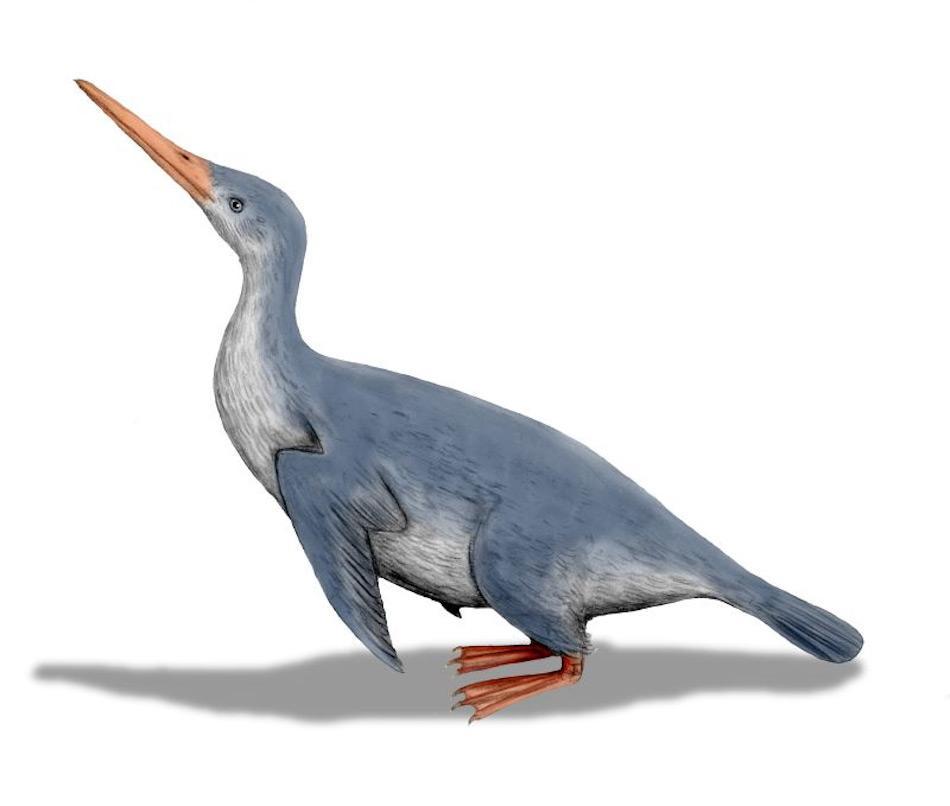 """Waimanu bedeutet """"Wasservogel"""" in der Sprache der Maori und beschreibt eine Gruppe von frühen Pinguinen. Sie lebten vor rund 60 Millionen Jahren in Neuseeland und werden als die frühesten fluglosen Mitglieder der Pinguingruppe betrachtet. Bild: Nobe Tamura"""