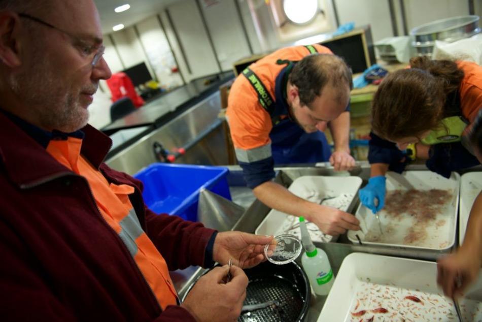Der leitende Wissenschaftler Dr. Andrew Constable untersucht eine Salpe. Salpen sind Teil des Zooplanktons und können ähnlich wie Krill riesige Schwärme bilden. Sie stehen auch am Anfang des Nahrungsnetzes, sind aber weniger nährstoffreich als Krill. Bild: Nick Roden