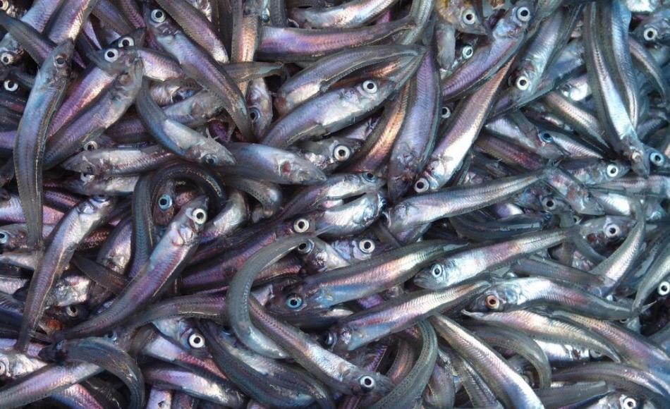 Antarktische Silberfische (Pleurogramma antarcticum) sind eine der Schlüsselarten im antarktischen Meeresökosystem. Eine grosse Zahl von Pinguinen, Walen und Robben ernähren sich von den bis zu 20 cm langen Fischen. Sie bilden grosse Schwärme über den Schelfgebieten Antarktikas. Bild: Philippe Koubbi