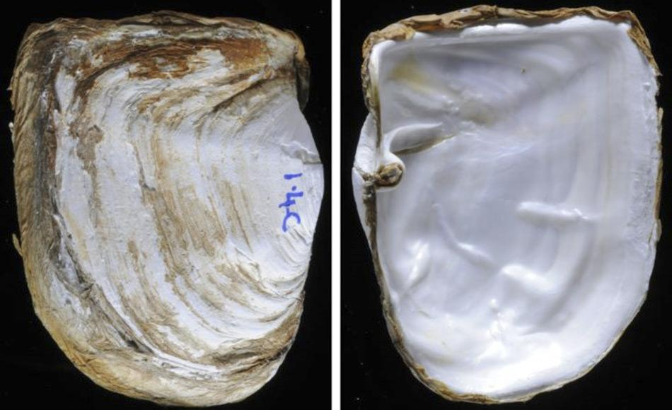 Eine neue Studie über die antarktische Muschel Laternula elliptica untersuchte, wie die Tiere so starke Muschelschalen aufbauen können. Die Innen- und Außenseite der Muscheln besteht aus Kalziumkarbonat das in Form von Karbonat-Ionen aus dem Meerwasser aufgenommen werden muss.