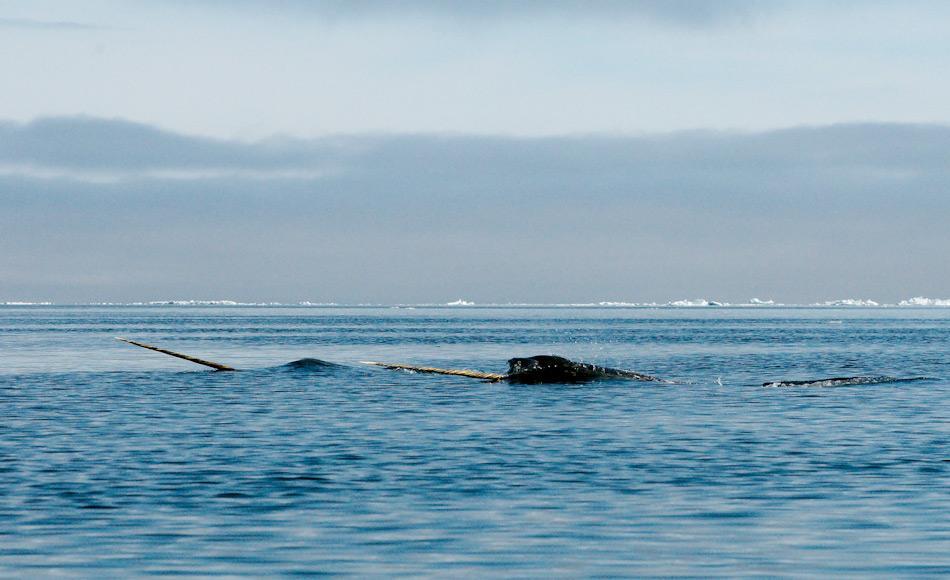 Bei Narwalen besitzen in erster Linie nur Männchen einen bis zu 3 m langen Stosszahn. Die übrigen Zähne sind zurückgebildet und die Tiere saugen wohl ihre Nahrung wie ein Staubsauger in den Mund. Bild: Michael Wenger