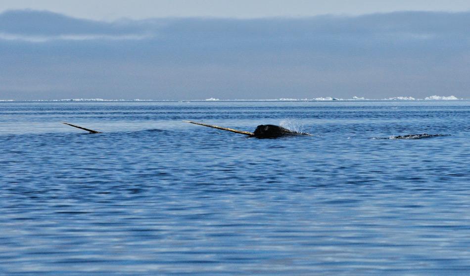 """Narwale nennt man auch """"Einhörner der Meere"""" aufgrund ihres langen Stosszahnes, der ein erweiterter Zahn ist. Diese Meeressäuger leben in der hohen Arktis nahe der Eiskante, wo sie Fische fangen. Bild: Michael Wenger"""