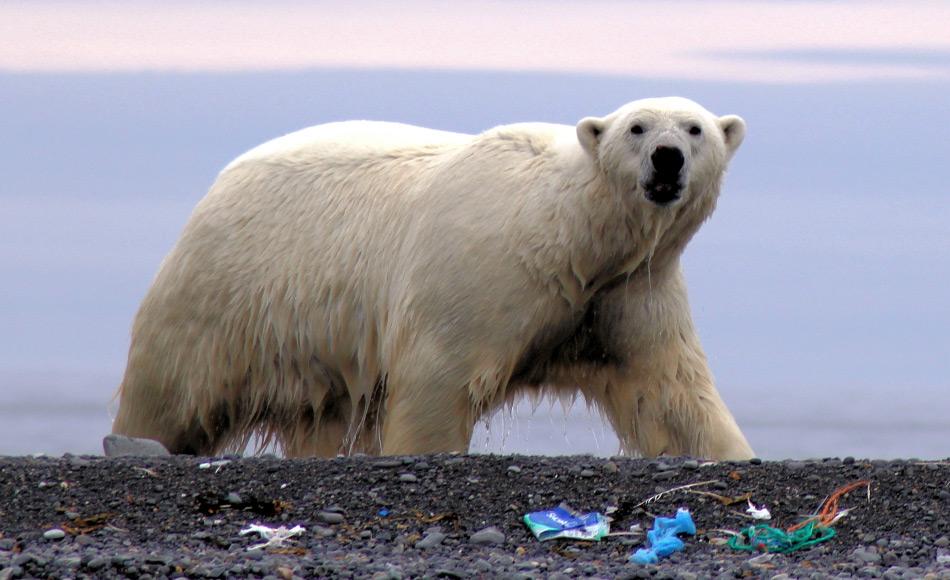Plastikmüll in der Arktis ist ein enormes Problem. Meist wird der Müll angeschwemmt und wird am Strand langsam in viele Kleinstteile aufgesplittert, die dann in der Nahrungskette landen und sich in Topräubern wie Eisbären ansammeln. Bild: Ilja Lang, AECO