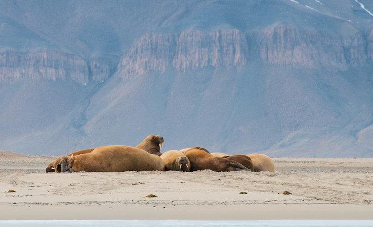 Die Walrosse, die grösste Robbenart im Norden, werden bereits seit Jahrhunderten wegen ihren