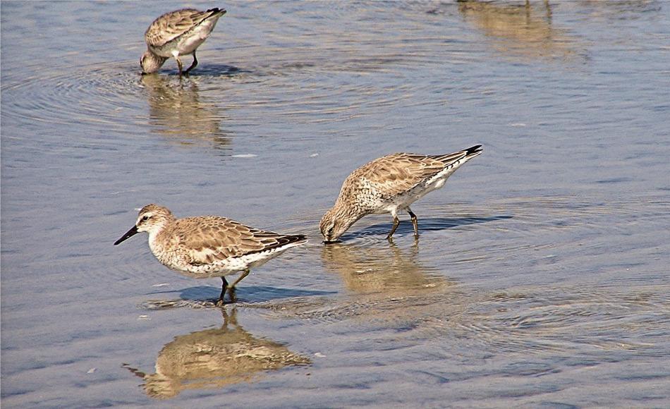 Die Vögel ernähren sich hauptsächlich von Weichtieren und Muscheln, die sie mit ihren langen Schnäbeln im Sand erwischen. Kleinere Vögel haben kürzere Schnäbel und müssen daher auf andere Nahrung ausweichen, die weniger Energie liefert. Dies beeinflusst die Überlebenschance auf negative Weise.