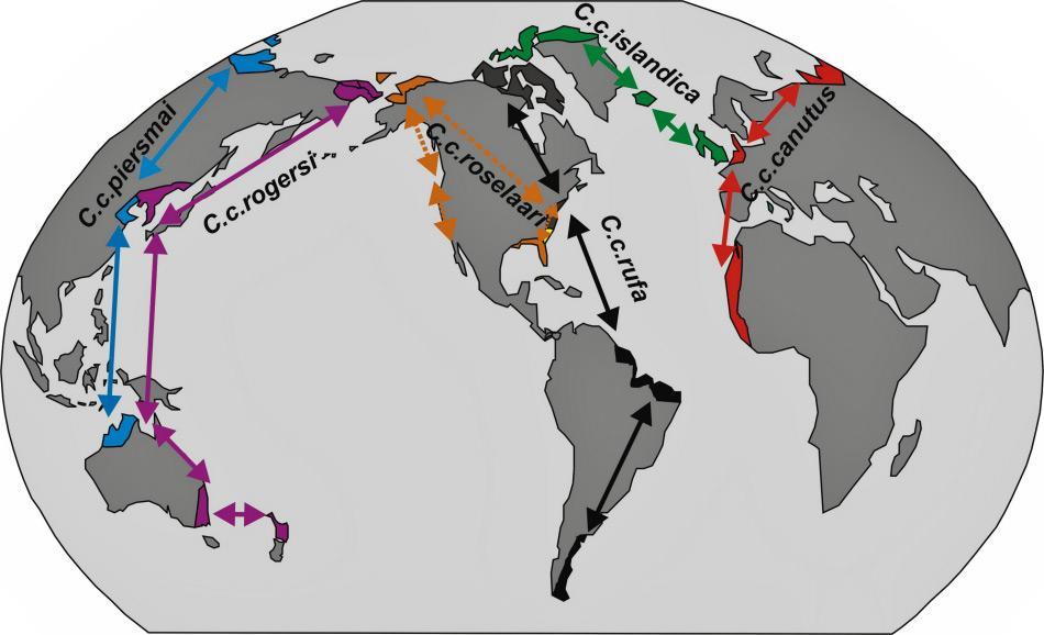 Die verschiedenen Unterarten von Knuttstrandläufern weisen auch unterschiedliche Wanderrouten auf. Trotzdem sind vier der sechs Unterarten im Winter weit im Süden zu finden und haben daher die längsten Wanderdistanzen. Diese können bis zu 5'000 Kilometer ohne Halt betragen. Bild: D. Buehler auf en.wikipedia