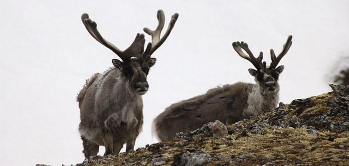Die Nahrung besteht vorrangig aus Flechten, Moosen und höheren Pflanzen. Nur gutgenährte Rentiere überstehen die rauen Winter auf Spitzbergen.