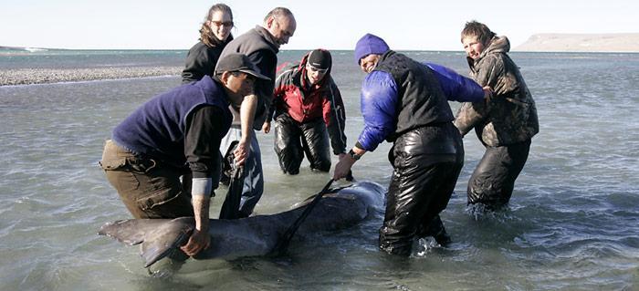 Gretchen Freund, mit blauer Mütze eilt zur Hilfe. Ein von der Ebbe überraschtes Beluga-Baby wird von Helfern ins offene Gewässer zurück gebracht.