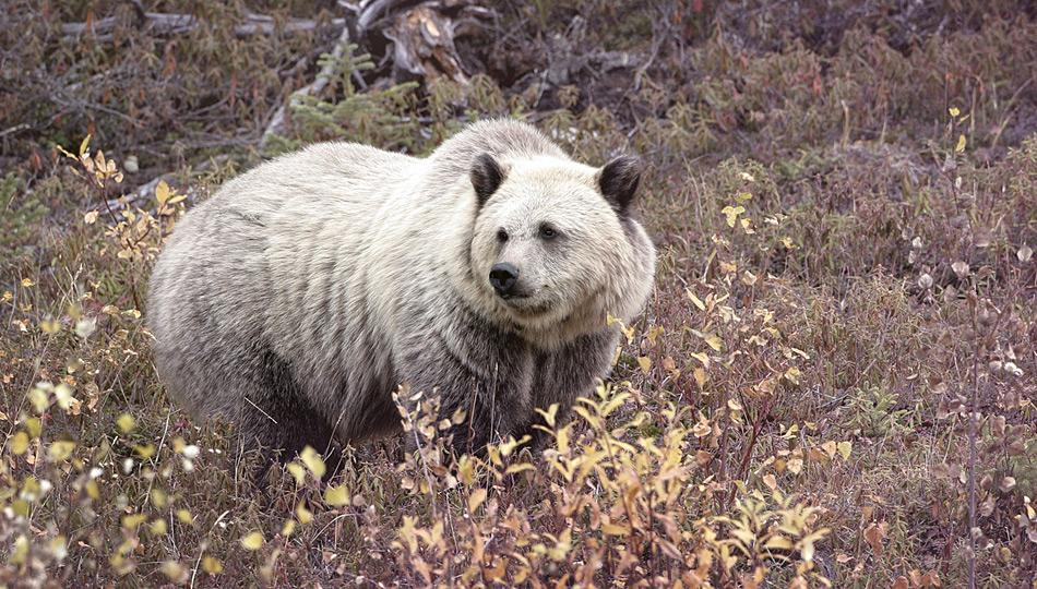 Während die nördlichen Breitengrade immer wärmer werden, wandert der Braunbär vermehrt nach Norden und kreuzt sich hin und wieder mit Eisbären, aus denen dann Hybride hervorgehen.