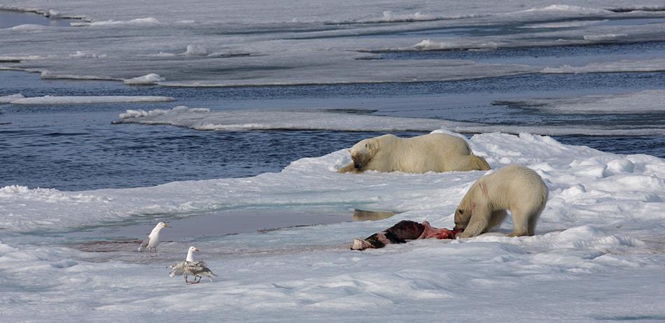 Während sich der alte, fette Eisbär zur Erholung hinlegt, bekommt das jüngere und schwächere Tier noch die Resten der erlegten Robbe.