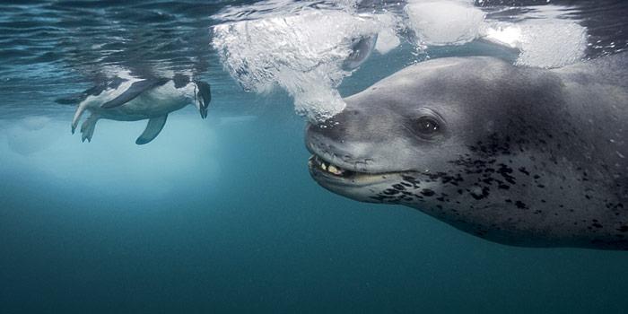 Seeleopard und Zügelpinguin