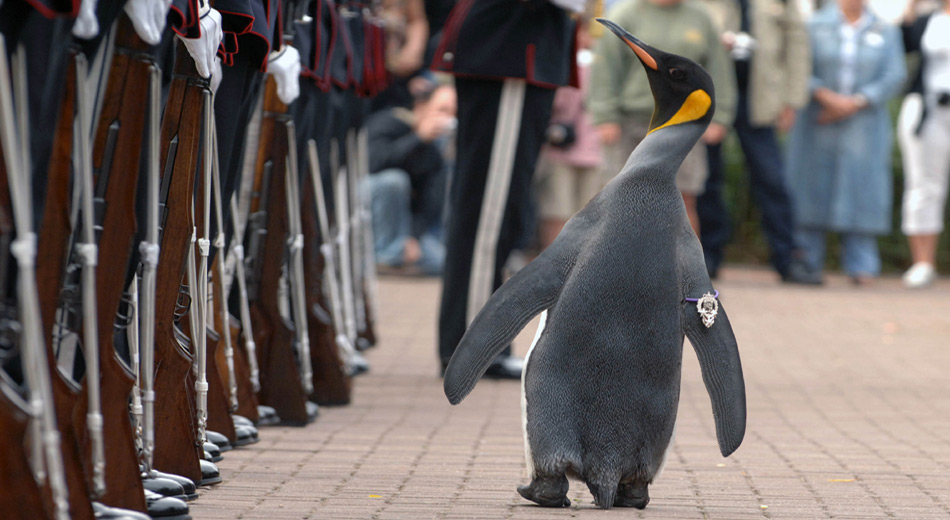 Am 15. August 2008 besuchte er die königliche Garde von Norwegen und wurde vom norwegischen König Harald V. zum Ritter geschlagen. Seither trägt der Pinguin den Titel Sir Nils Olav II.