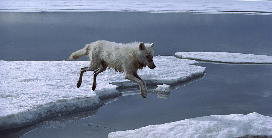 Je weiter die Beutetiere verstreut sind, desto besser muss sich das Rudel organisieren. Das ist nur eine von vielen Herausforderungen, die Polarwölfe im hohen Norden meistern müssen. Die Solidarität in einem Polarwolf-Rudel ist noch stärker ausgeprägt als in Rudeln anderer Unterarten des Wolfes. Ein einzelner Polarwolf könnte in dem rauen Klima nicht lange überleben. Ein Rudel besteht aus sieben bis zehn, manchmal bis zu 30 Tieren. Das Jagdgebiet der Polarwölfe erstreckt sich zumeist über 1.300 bis 1.600 km². Für die Futtersuche legen sie täglich etwa 30 km zurück. Sie jagen und fressen fast alles, was sie ausmachen können.