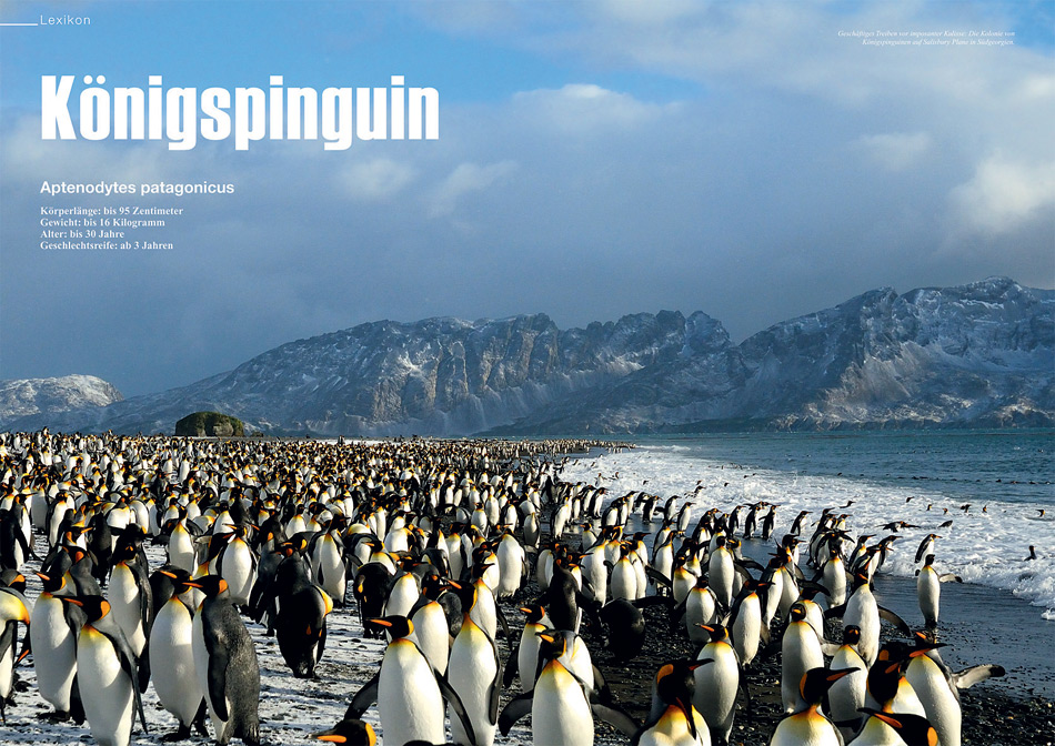 polarnews_23_koenigspinguine